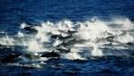 Cetacea