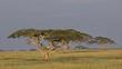 Sub/tropical grasslands, savannas and shrublands