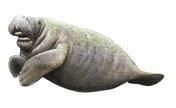 Trichechus manatus