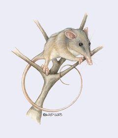 tarsipedidae