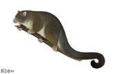 Hemibelideus lemuroides