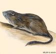 petromus-typicus
