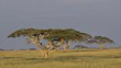 Sub/tropical grasslands, savannas and shrublands