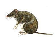 Isoodon macrourus
