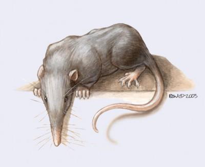 Résultats de recherche d'images pour «Les Nesophontidae»